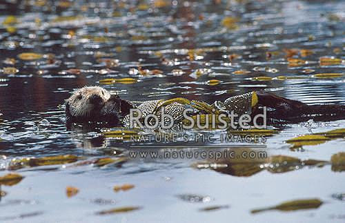 Sea Otter (Enhydra lutris) amongst Californian giant kelp seaweed, Monterey, California District, California Region, United States of America stock photo.