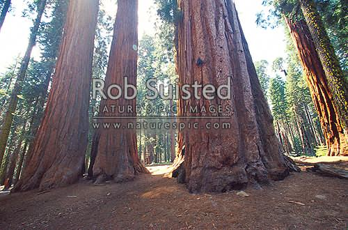 Giant Sequoia trees (Sequoiadendron giganteum) in Sequoia National Park, Sequoia National Park, USA, California District, California Region, United States of America stock photo.