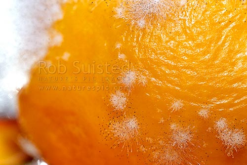 Mycelium of Fungi growing on an orange, showing spores on the hyphae tips. Mycelia, New Zealand (NZ) stock photo.