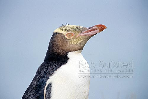 Yellow eyed penguin (Megadyptes antipodes), Moeraki, New Zealand (NZ) stock photo.