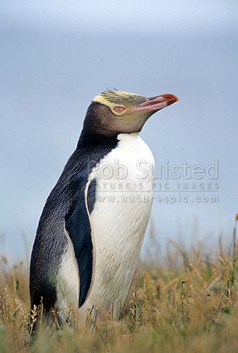 Yellow-eyed penguin (Megadyptes antipodes), Moeraki, New Zealand (NZ) stock photo.