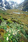 Routeburn track flowers