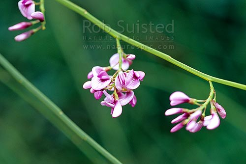 New Zealand Pink tree broom (Notospartium glabrescens), Blenheim, New Zealand (NZ) stock photo.