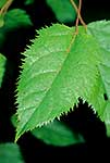 Wineberry leaves