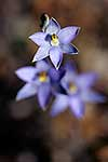 Sun orchid, native