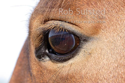 Close up of Horse eye, New Zealand (NZ) stock photo.