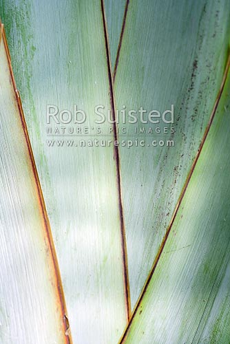 Overlapping leaves of flax (Phormium tenax) near the base of the plant, New Zealand (NZ) stock photo.