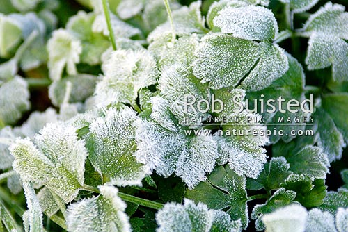 Frost ice crystals on grass and pasture plant leaves. Winter frost on pasture plants, Levin, New Zealand (NZ) stock photo.