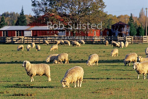 Sheep (Ovis aries) in field / paddock with woolshed behind, Canterbury, Hurunui District, Canterbury Region, New Zealand (NZ) stock photo.