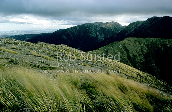 Wind swept tussock in Armstrong saddle above Sunrise hut, Ruahine Forest Park, Central Hawke's Bay District, Hawke's Bay Region, New Zealand (NZ) stock photo.