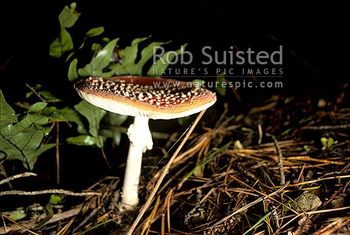 Red Fly Agaric Toadstools (Amanita muscaria) in forest, Colonial Knob, Porirua, New Zealand (NZ) stock photo.