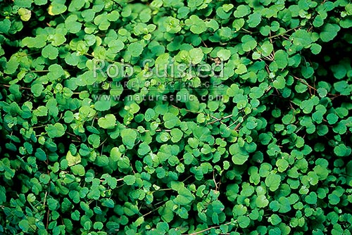 Native Creeping Fuchsia (Fuchsia procumbens), or Prostrate fuchsia, New Zealand (NZ) stock photo.