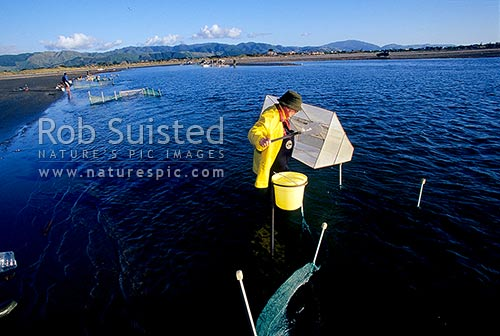 Whitebait fisherman checking whitebait net for 'bait' (native galaxid Inanga species Galaxis maculatus etc). Waikanae Estuary, Waikanae, Kapiti Coast District, Wellington Region, New Zealand (NZ) stock photo.
