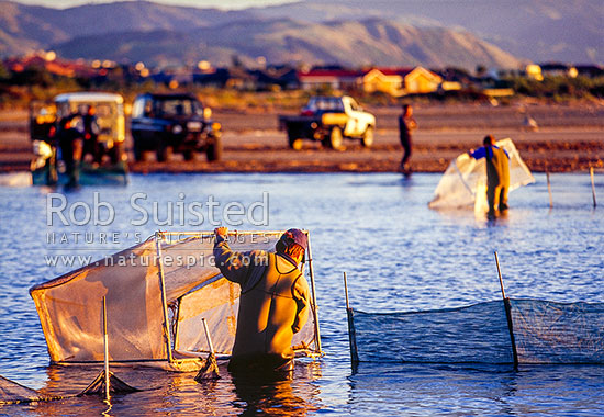 Whitebait fishing at Waikanae River Estuary (native galaxid Inanga species Galaxis maculatus etc). Whitebait fisherman checking net, Waikanae, Kapiti Coast District, Wellington Region, New Zealand (NZ) stock photo.