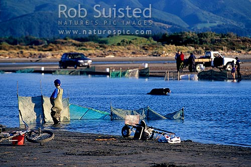 Whitebait fishing at Waikanae River Estuary (native galaxid Inanga species Galaxis maculatus etc). Whitebait fishers, Waikanae, Kapiti Coast District, Wellington Region, New Zealand (NZ) stock photo.