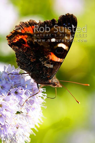 Red Admiral butterfly (Vanessa gonerilla gonerilla) on hebe flower. Maori name: Kahu kura, New Zealand (NZ) stock photo.