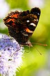 Native Red Admiral Butterfly