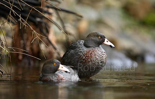 Wild Blue duck pair, adults, (Hymenolaimus malacorhynchos), Te Waiiti River, Waimana Valley, Te Urewera National Park, New Zealand (NZ) stock photo.