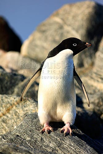 Adelie penguin (Pygoscelis adeliae), Commonwealth Bay, George V Land, Antarctica District, Antarctica Region, Antarctica stock photo.
