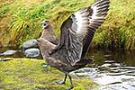 Skua bird, Auckland Islands