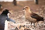 Skua bird and Adelie penguin