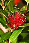 Southern Rata flower