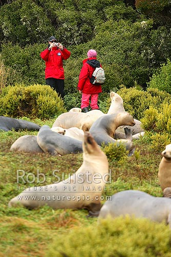 Tourist visitors to photographing with New Zealand Sea lions (Phocartos hookeri), Auckland Islands, NZ Sub Antarctic District, NZ Sub Antarctic Region, New Zealand (NZ) stock photo.