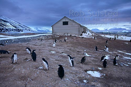 Adelie penguins (Pygoscelis adeliae) and Borchgrevink's 1899 Southern Cross Expedition huts, Ridley Beach. Robertson Bay, Cape Adare, Ross Sea, Antarctica Region, Antarctica stock photo.