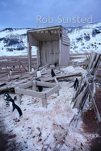Remains of Scott's Northern Party Hut built by Victor Campbell 1911 and Adelie penguins (Pygoscelis adeliae), Cape Adare, Ross Sea, Antarctica District, Antarctica Region, Antarctica stock photo.