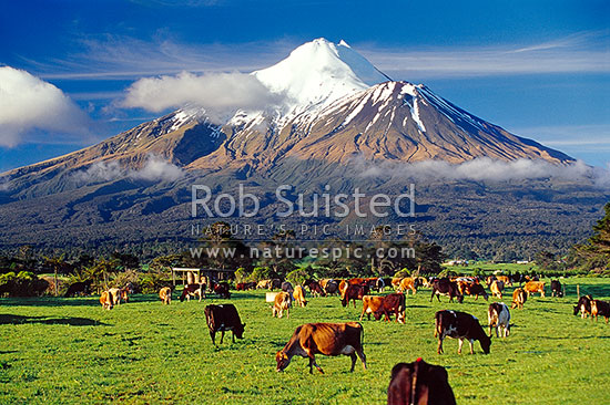 Mount (Mt) Egmont / Mount (Mt) Taranaki above grazing dairy cows and lush grass paddocks. Dairy cattle, Eltham, South Taranaki District, Taranaki Region, New Zealand (NZ) stock photo.