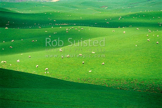 Sheep grazing on rolling hill country from the Napier-Taihape Road. Near Ngamatea Station. Paddocks and grass, Moawhango, Rangitikei District, New Zealand (NZ) stock photo.