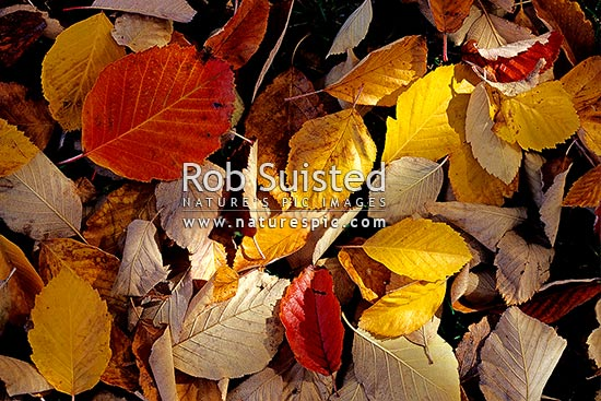 Autumn leaves on ground. Autumn colours, Queenstown, New Zealand (NZ) stock photo.