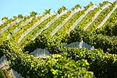 Grape vines, Hawkes Bay