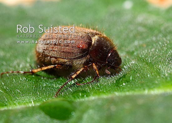 Chafer beetle (Odontria species) - adult beetle, New Zealand (NZ) stock photo.