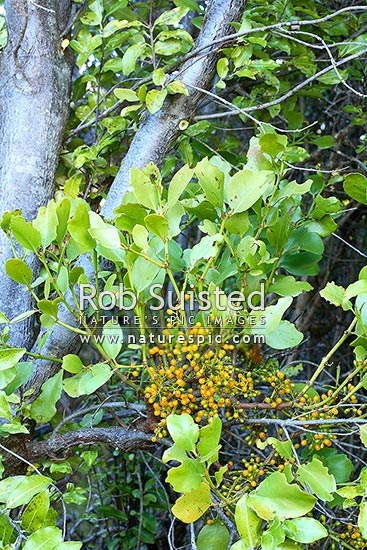 New Zealand native green mistletoe fruiting, piritia. (Ileostylus micranthus) Host plant is Pittosporum tenuifolium - Kohuhu, Lake Wakatipu, Queenstown Lakes District, Otago Region, New Zealand (NZ) stock photo.