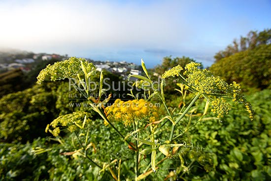 Fennel flower head (Foeniculum vulgare). Urban pest plant weed, New Zealand (NZ) stock photo.