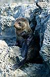 NZ Fur seal