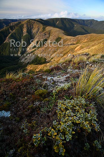 Looking north along the northern Ruahine Main Range from Mount (Mt) Piopio (1431masl) over the Ikawatea River catchment (left), Ruahine Forest Park, Rangitikei District, New Zealand (NZ) stock photo.