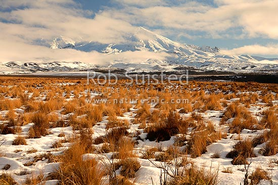 Mount (Mt) Ruapehu (2797m asl) from Rangipo Desert with snow covered red tussock (Chionochloa rubra), Rangipo, Taupo District, Waikato Region, New Zealand (NZ) stock photo.