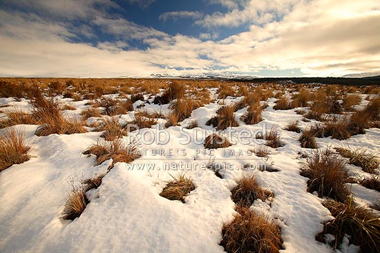 Mount (Mt) Ruapehu (2797m asl) beyond the Rangipo Desert with snow covered red tussock (Chionochloa rubra), Rangipo, Taupo District, Waikato Region, New Zealand (NZ) stock photo.