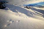 Hare trails in snow