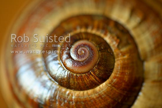 Native giant carnivorous land snail shells from Mount (Mt) Richmond - (Powelliphanta sp.). Closeup pattern texture, New Zealand (NZ) stock photo.