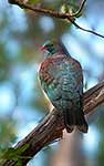 New Zealand native Wood Pigeon