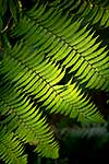 NZ Tree fern fronds and leaves