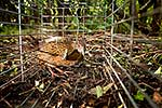Weka in cage trap