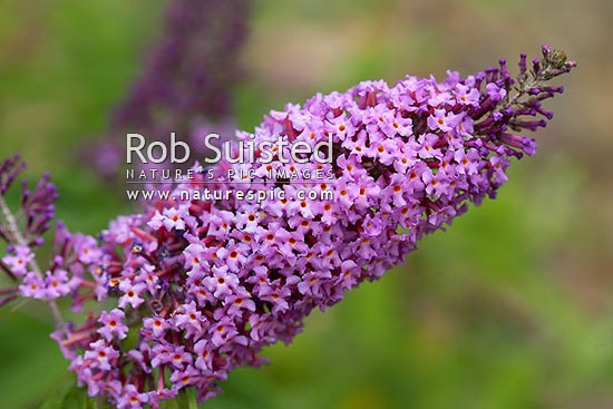 Introduced plant pest Buddleia in flower (Buddleja davidii). Buddlejaceae. Weed, New Zealand (NZ) stock photo.