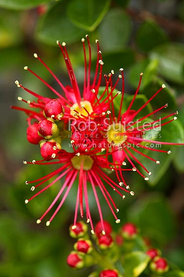 Rata Vine flowers (Metrosideros carminea), Crimson rata, Carmine rata. Myrtaceae. Native plant, New Zealand (NZ) stock photo.