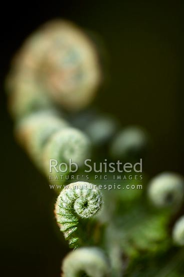 Unfurling new growth on native tree fern. Koru. Silver Tree Fern - Ponga (Cyathea dealbata). Close up, New Zealand (NZ) stock photo.