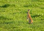 European Hare in the grass