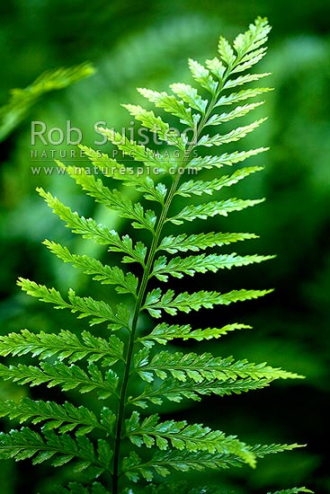 Hen and Chickens Fern frond (Asplenium bulbiferum). Bright green. NZ native, New Zealand (NZ) stock photo.